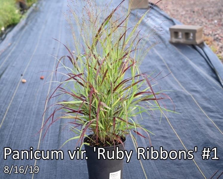 Panicum-vir.-Ruby-Ribbons