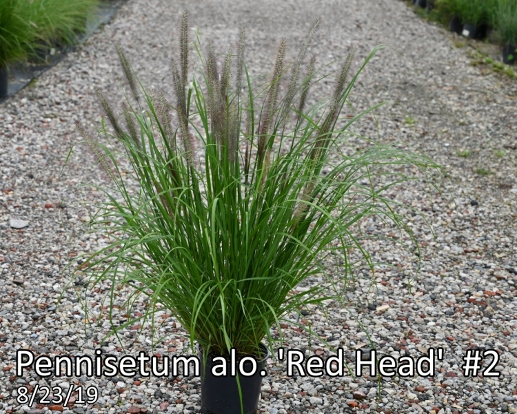 Pennisetum-alo.-Red-Head