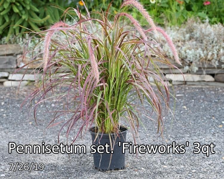 Pennisetum-set.-Fireworks