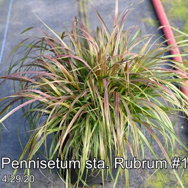 Pennisetum sta. Rubrum #1