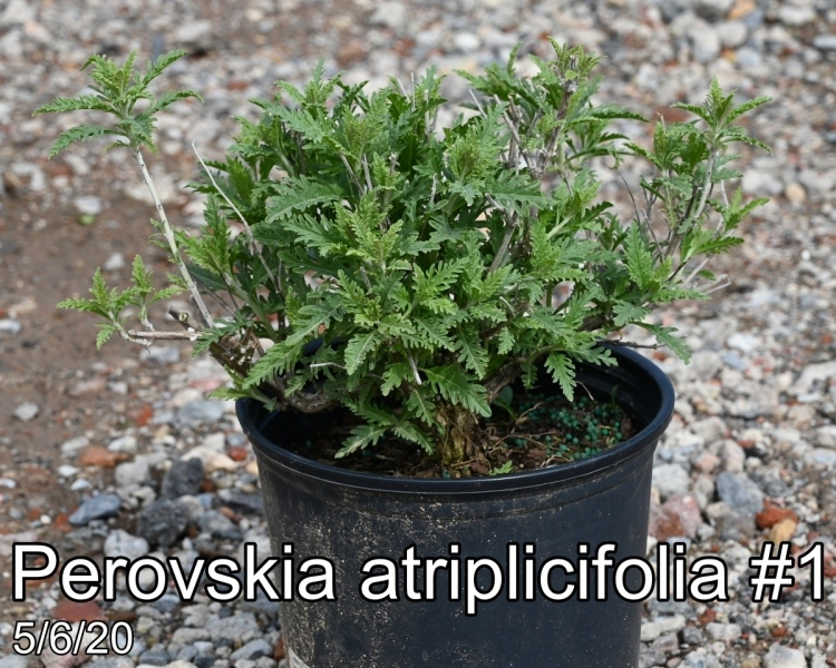 Perovskia atriplicifolia #1