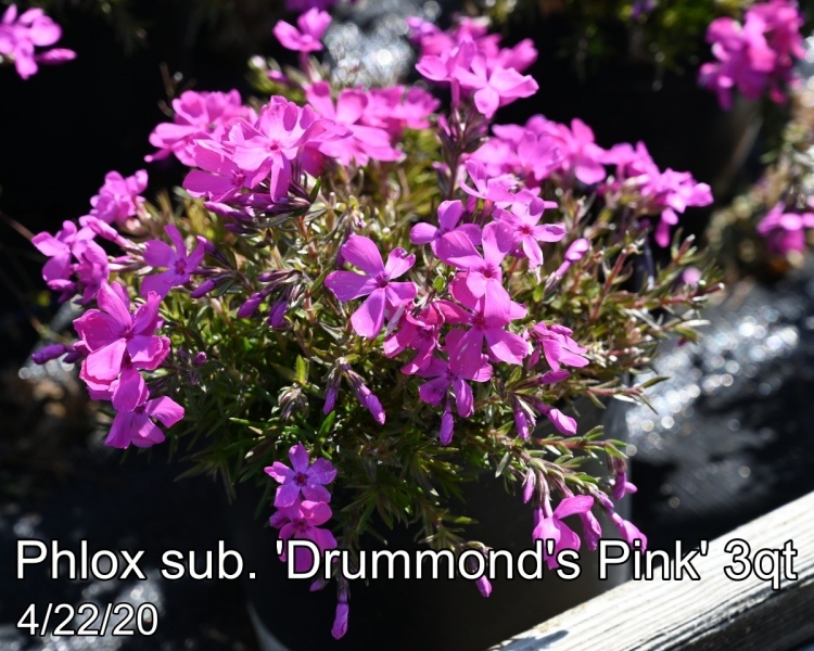 Phlox sub. Drummonds Pink 3qt