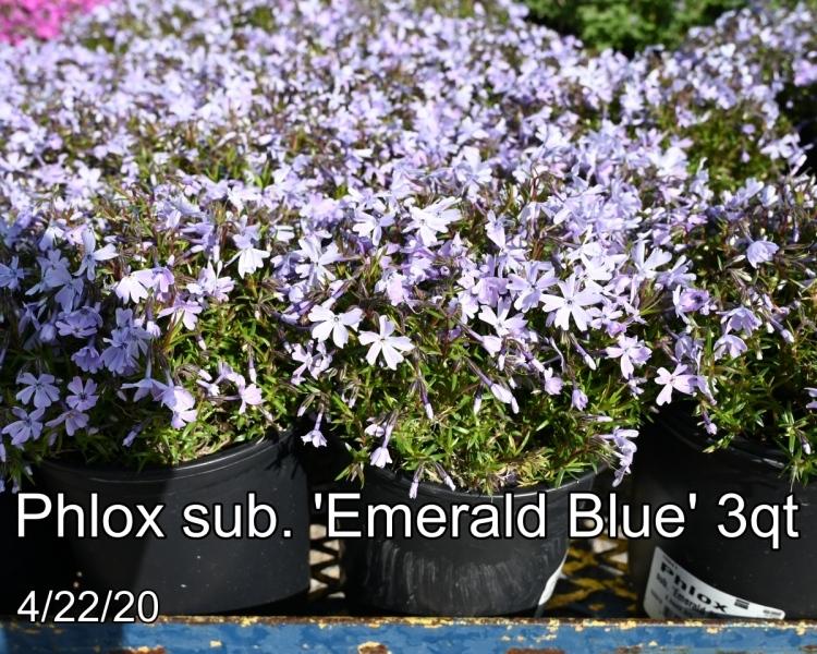 Phlox-sub.-Emerald-Blue-3qt