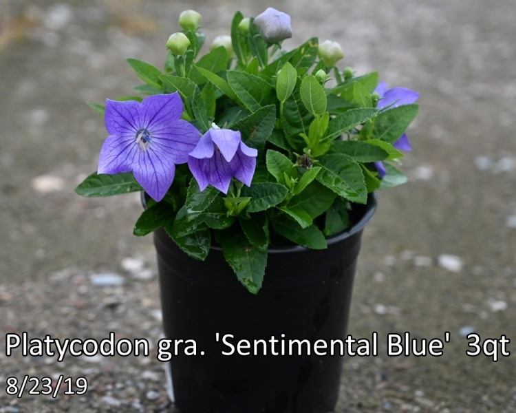 Platycodon-gra.-Sentimental-Blue