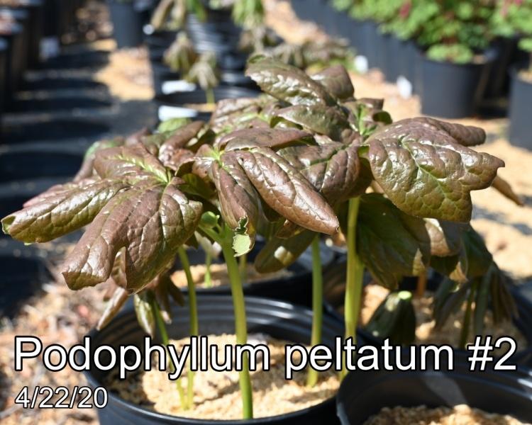 Podophyllum peltatum #2