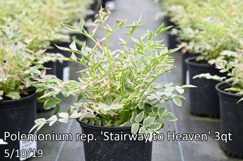 Polemonium-rep.-Stairway-to-Heaven