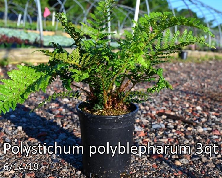 Polystichum-polyblepharum