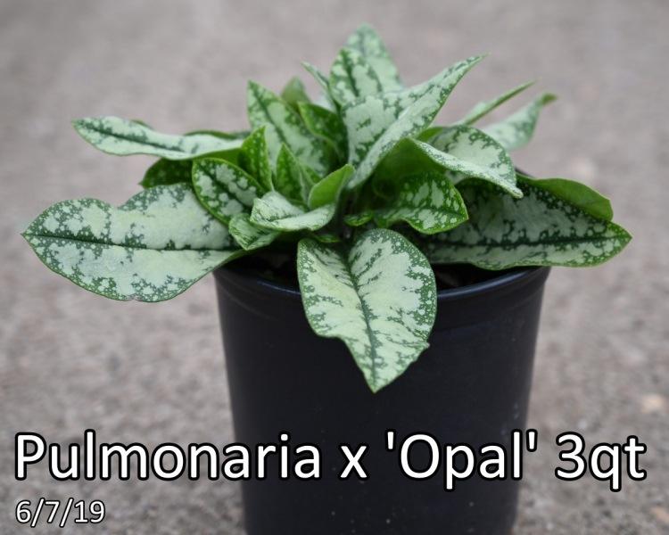 Pulmonaria-x-Opal