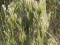 Andropogon glomeratus bushy bluegrass
