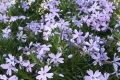 Phlox subulata 'Emerald Blue'