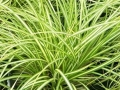 Carex morrowii 'Evergold'