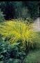 Carex elata 'Aurea'