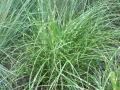 Miscanthus s. 'Little Zebra'