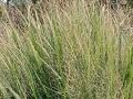 Panicum virgatum 'North Wind'