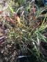 Panicum virgatum 'RR1' RUBY RIBBONS