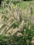 Pennisetum alopecuroides 'Ginger Love'