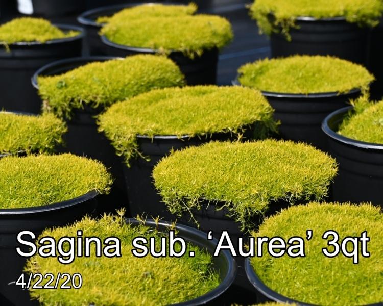 Sagina sub. 'Aurea' 3qt