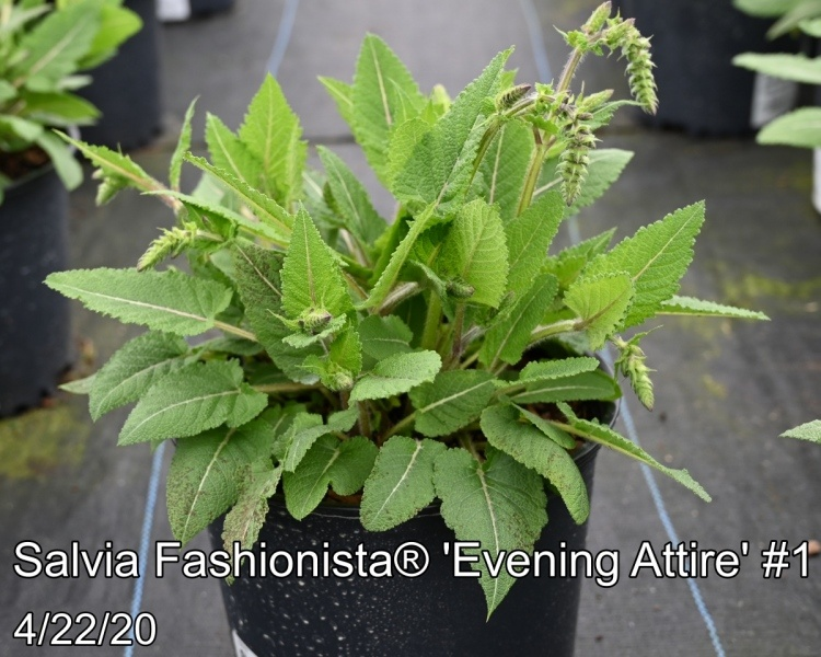 Salvia Fashionista® Evening Attire #1