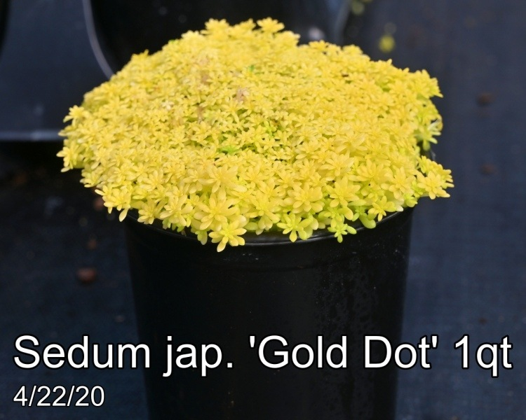 Sedum jap. Gold Dot 1qt