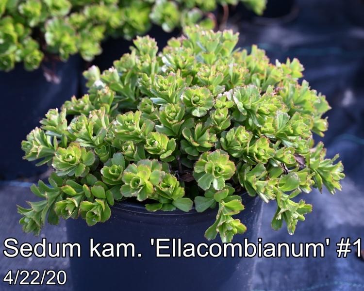 Sedum kam. Ellacombianum #1