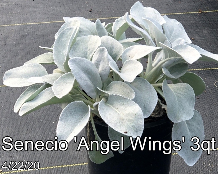 Senecio Angel Wings 3qt