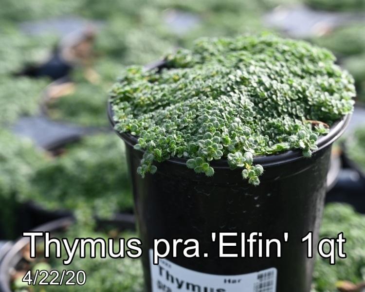 Thymus pra. Elfin 1qt
