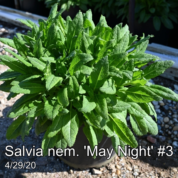 Salvia nem. May Night #3