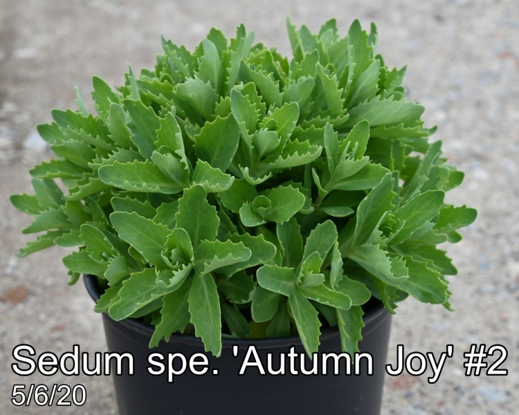 Sedum spe. Autumn Joy #2