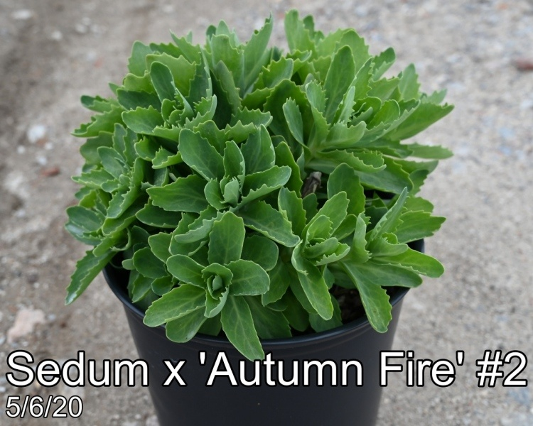 Sedum x Autumn Fire#2