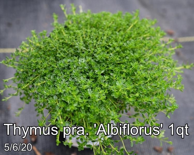 Thymus pra. Albiflorus 1qt