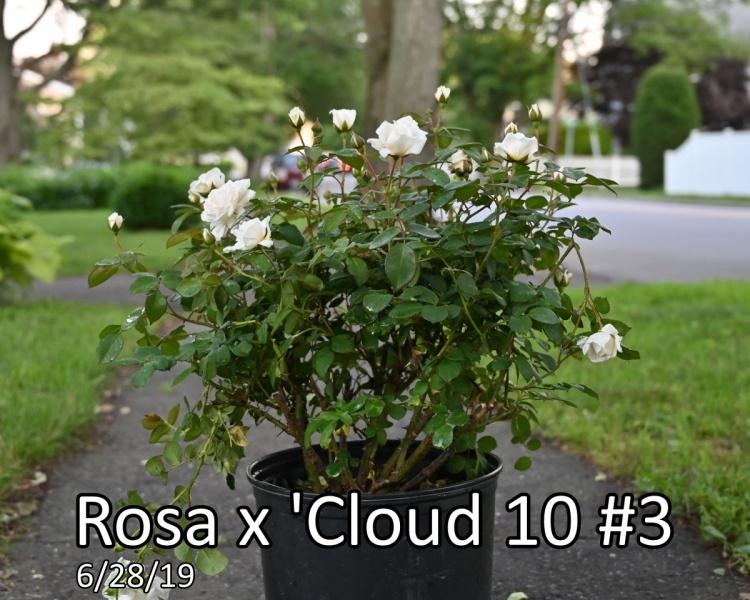 Rosa-x-Cloud-10™