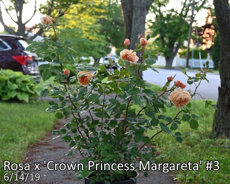 Rosa-x-Crown-Princess-Margareta