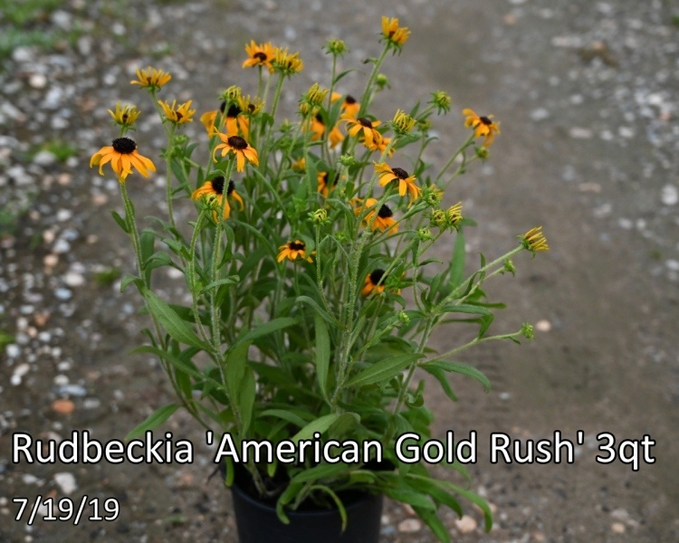 Rudbeckia-American-Gold-Rush
