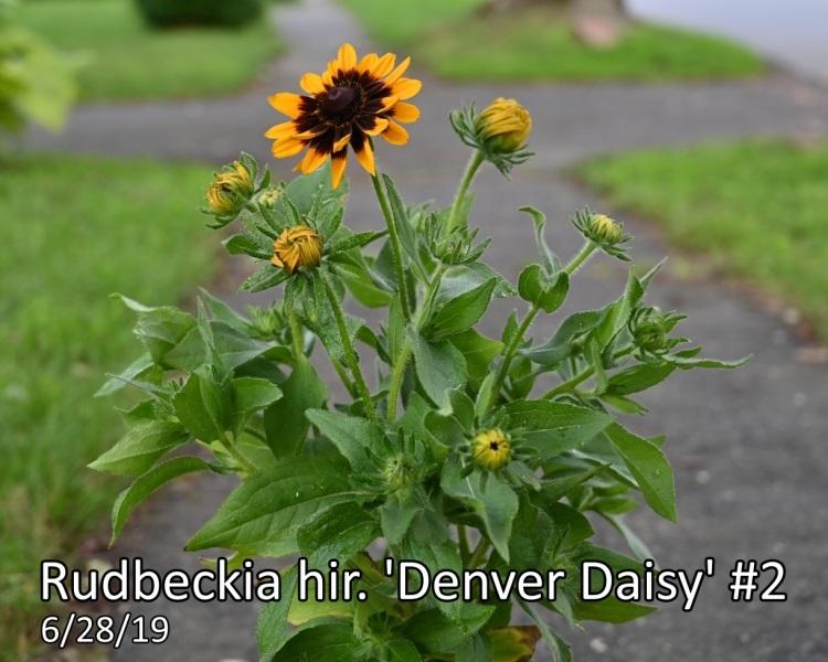 Rudbeckia-hir.-Denver-Daisy