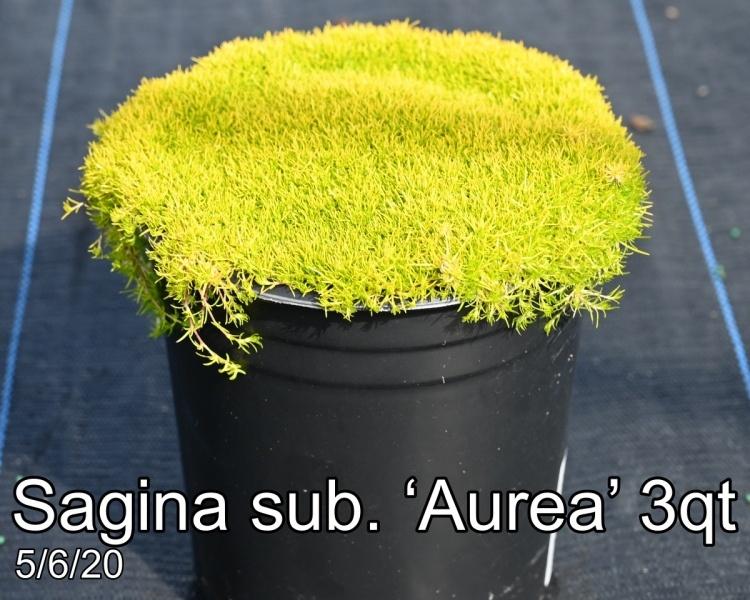 Sagina sub. Aurea 3qt