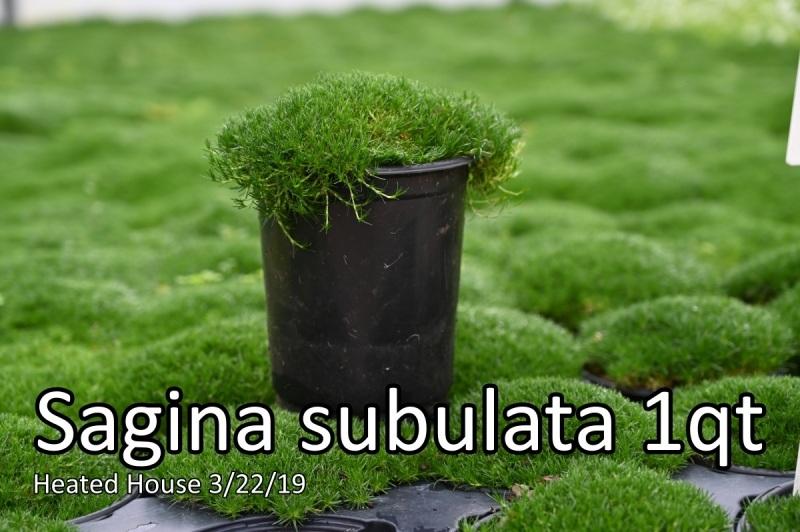 Sagina-subulata