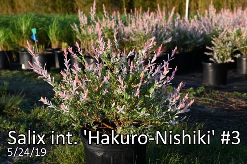 Salix-int.-Hakuro-Nishiki