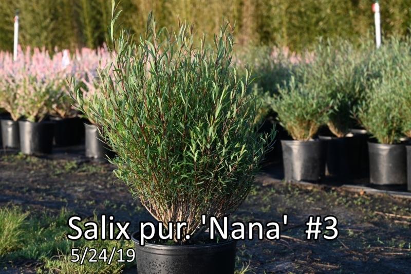 Salix-pur.-Nana