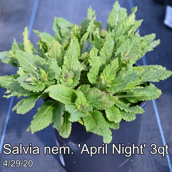 Salvia nem. Sallyrosa™ April Night 3qt