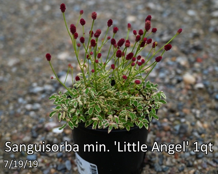 Sanguisorba-min.-Little-Angel