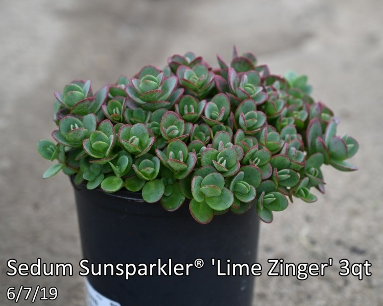 Sedum-Sunsparkler®-Lime-Zinger