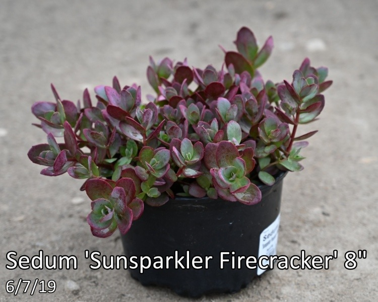 Sedum-Sunsparkler-Firecracker