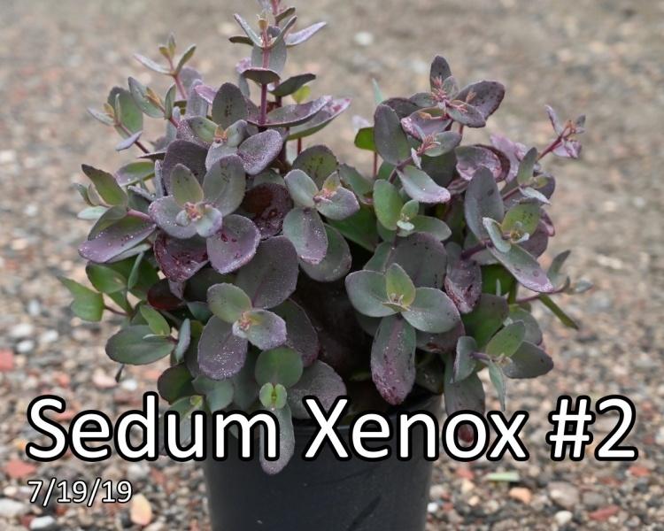 Sedum-Xenox