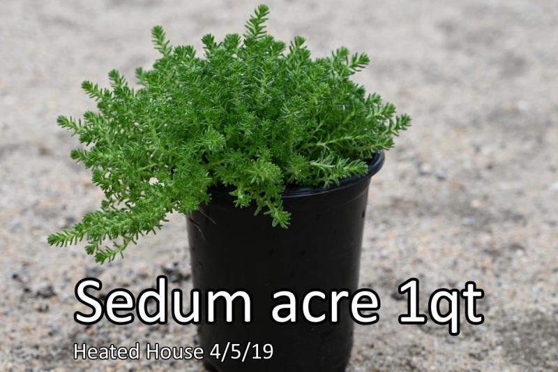 Sedum-acre