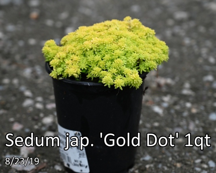 Sedum-jap.-Gold-Dot
