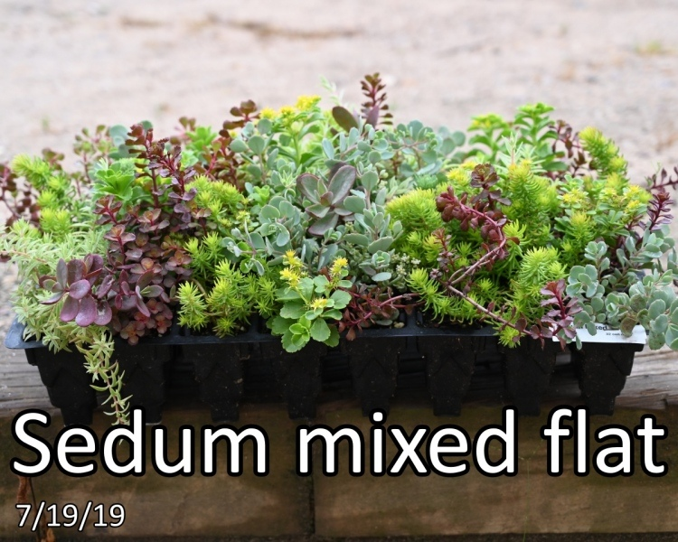 Sedum-mixed-flat