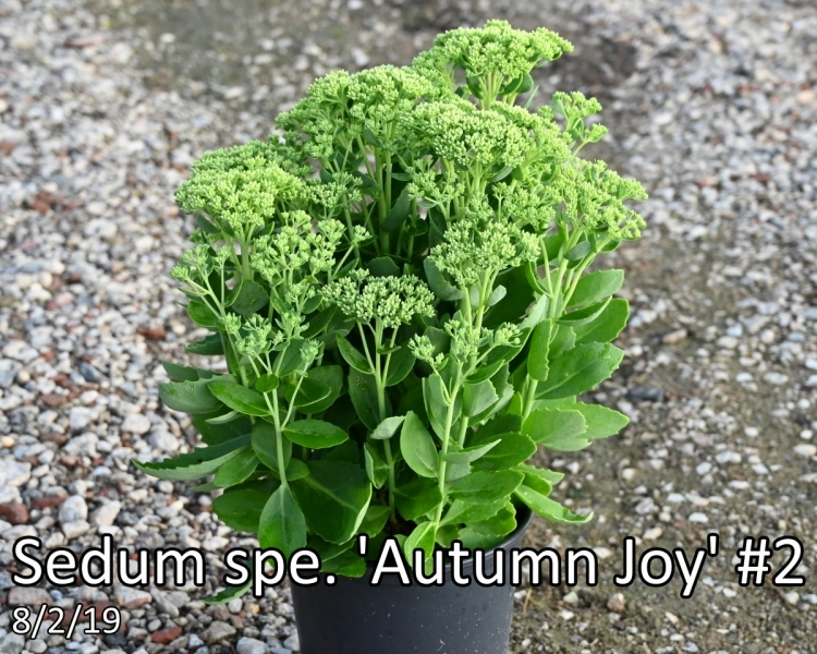 Sedum-spe.-Autumn-Joy