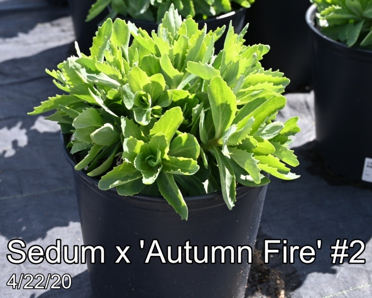 Sedum x Autumn Fire #2
