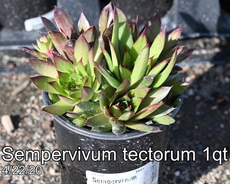 Sempervivum tectorum 1qt