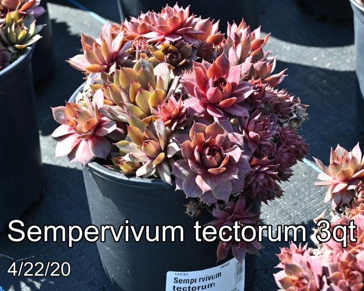 Sempervivum tectorum 3qt